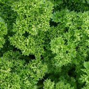 Parsley  Moss Curled type - 4000 seeds - Vegetable / Herb